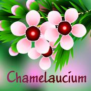 Beautiful spring flowers Chamelaucium. Cards or your design with space for te - stock illustration