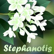 Beautiful spring flowers stephanotis. Cards or your design with space for tex Stock Illustration