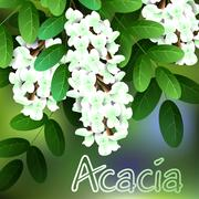 Beautiful spring flowers acacia. Cards or your design with space for text. Ve Stock Illustration