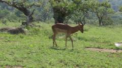 Antelope with broken leg Stock Footage
