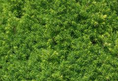 Bright green foliage of spruce Conica is as natural background. Stock Photos