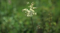 Garlic mustard (Alliaria petiolata) - stock footage