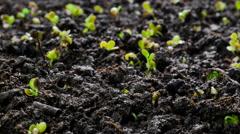 4K Growing Plants Timelapse . Mustard Stock Footage