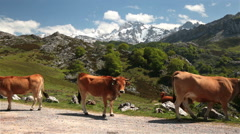 Cows on road snowy mountain pasture sunny day Asturias nothern Spain - stock footage