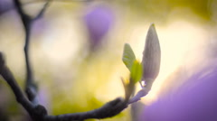 Magnolia blossom Stock Footage