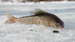 Winter fishing. Fish lying on the snow. Krasnoyarsk Krai. Russia. Stock Footage