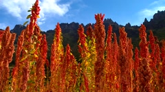 PERU: Quinoa plants on field Stock Footage