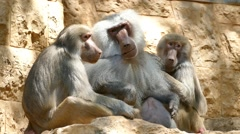 Baboons - Alpha male footage Stock Footage