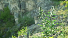 Blue Salvia (salvia farinacea) flowers blooming on the rock, Breeze in wind. Stock Footage