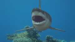 The shark comes up and springs forward at camera underwater in the sea 3D render Stock Footage