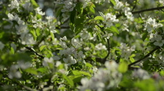 Blossoming Apple tree in Sunlight Stock Footage