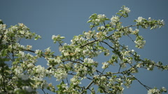 Blossoming Apple tree with Blue sky Stock Footage