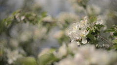 Close Up of a Blossoming Apple tree flower Stock Footage