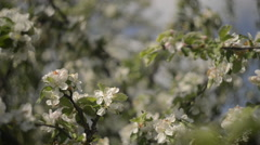 Apple tree branches full of Blossoming flowers Stock Footage