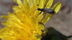 Bug Sitting on Petal of Dandelion Flower Stock Footage
