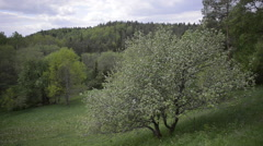 Lone Blossoming Apple tree in an Untouched Valley - stock footage