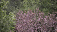 Blossoming Pink Apple tree Stock Footage