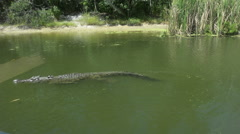 Australian Saltwater crocodile swims in a river Stock Footage