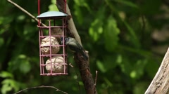Blue Tit feeding on fat balls Stock Footage