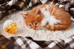 Red orange kitten at blue wood Stock Photos