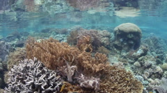 Coral Reef and Camouflaged Cuttlefish - stock footage