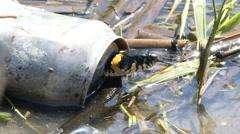 Natriks Snake hiding in tin bank. - stock footage
