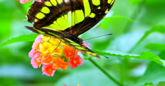 4K Green Spotted Triangle or Tailed Jay Butterfly on Flower Stock Footage
