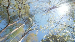 Looking up under the canopy of a plum tree - stock footage