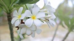 Frangipani flowers on the tree Stock Footage