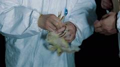 Veterinarian working on chicken farm - stock footage