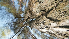 Looking up a pine tree into its canopy Stock Footage
