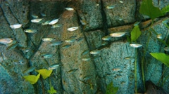 Head and Tail Light Tetra (Hemigrammus ocellifer). Flock in the aquarium. Stock Footage