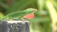 Green Lizard Mating Display Close Up Stock Footage