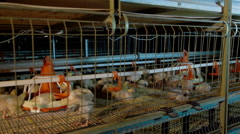 Intensive factory farming of chicks broiler houses Stock Footage