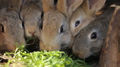 Domestic rabbits in a cage. Family gray rabbits eat grass, Stock Footage