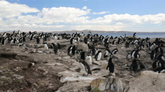 A wide shot of a Rockhopper penguin colony in Falkland Islands Stock Footage