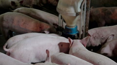 Intensively farmed pigs in batch pens - stock footage