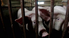 Intensively farmed pigs in batch pens Stock Footage