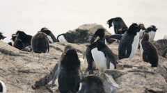 A group of Rockhopper penguin in Falkland Islands Stock Footage