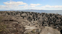 A pan shot of a Rockhopper penguin colony Stock Footage