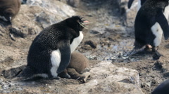 A Rockhopper penguin with chick in Falkland Islands Stock Footage