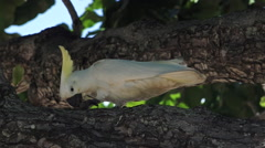 White Australian cockatoo eat a nut on a tree branch Stock Footage