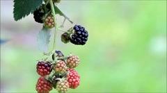 Fresh blackberries on bush, texture, green background Stock Footage