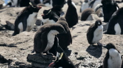 A Rockhopper penguin chick in Falkland Islands Stock Footage