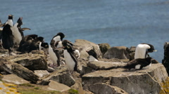 Two Rockhopper penguin mating in a colony in Falkland Islands Stock Footage