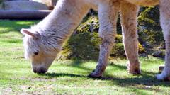 4K Alpaca Grazing on Spring Time Grass, White Fur Mammal - stock footage