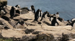 A Rockhopper penguin colony in Falkland Islands Stock Footage