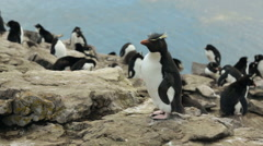 A Rockhopper penguin hopping on some rocks in Falkland Islands - stock footage