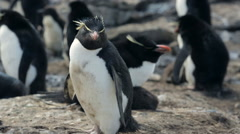 A close up of a Rockhopper penguin in Falkland Islands Stock Footage
