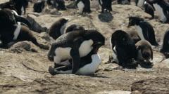 Two Rockhopper penguins mating in Falkland Islands Stock Footage